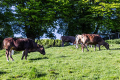 Cows at summer green field Royalty Free Stock Photography