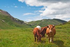 Cows on a summer meadow Stock Images