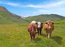 Cows on a summer meadow Royalty Free Stock Photo