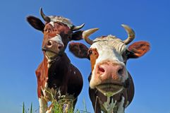 Cows on a summer pasture. Royalty Free Stock Photo