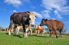 Cows on a summer pasture Royalty Free Stock Photo
