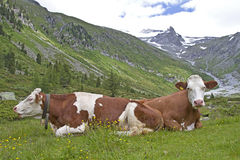 Cows on summer pasture. In South Tyrol Royalty Free Stock Images