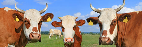 Cows on a summer pasture Stock Images