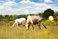 Cows on a summer pasture Royalty Free Stock Photography