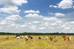 Cows on a summer pasture Stock Image