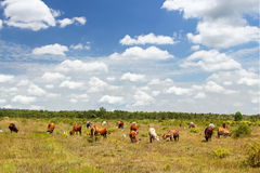 Cows on a summer pasture Stock Photography