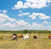 Cows on a summer pasture Royalty Free Stock Images