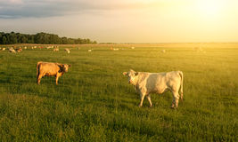 Cows. On a summer pasture Royalty Free Stock Photo