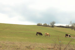 Cows. On a summer pasture royalty free stock photos