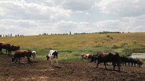 Cows on a summer pasture stock footage