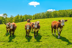 Cows on a summer pasture. (Annapolis Valley, Nova Scotia, Canada royalty free stock photo