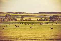 Cows on Summer Pasture Stock Photos