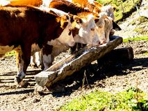 Cows on a summer pasture. Cows grazing on a pasture in austria. organic farming Stock Image