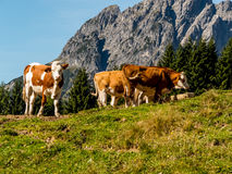 Cows on a summer pasture. Cows grazing on a pasture in austria. organic farming Stock Photo