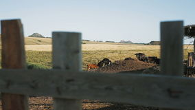 Cows on a summer pasture stock video