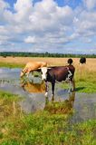 Cows on a summer pasture after a rain Stock Photos