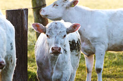 Cows in sun. Herd of cows in Sunrise/Sunset Royalty Free Stock Photos