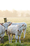 Cows in sun. Herd of cows in Sunrise/Sunset Stock Photo