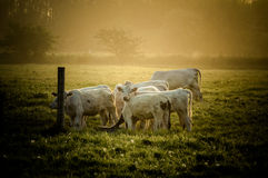 Cows in sun. Herd of cows in Sunrise/Sunset Royalty Free Stock Photo