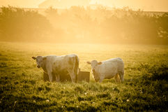 Cows in sun. Herd of cows in Sunrise/Sunset Stock Image