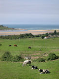 Cows sunbathing. There're few cows left in this countryside , Miengo , north of Spain , Cantabric coast stock image