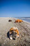 Cows sunbathing Royalty Free Stock Photos
