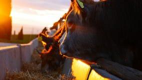 Cows at sundown royalty free stock photography