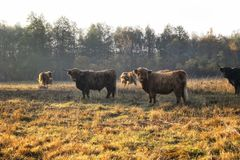 Cows in sunny meadow stock images