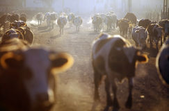 Cows at sunrise. Color horizontal shot of some cows on a village road, at sunrise Stock Photos