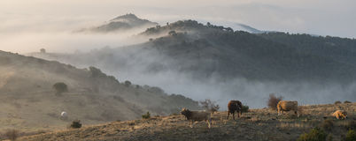 Cows at sunrise Stock Photography