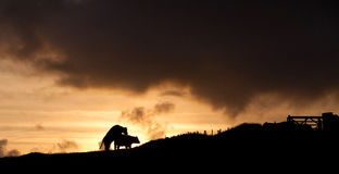 Cows in the sunset Royalty Free Stock Photo