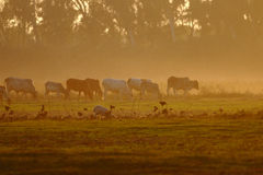 Cows and Sunset Royalty Free Stock Image