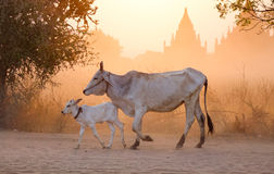 Cows at the sunset in Bagan, Myanmar Royalty Free Stock Photo