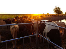 Cows at sunset on the farm Royalty Free Stock Photos