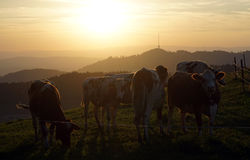 Cows and sunset Royalty Free Stock Photos