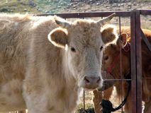 Cows in the sunshine. The sunshine give the cows gilt edge Stock Photos