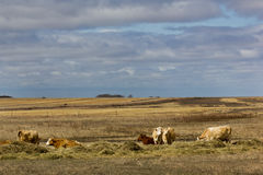 Cows in sunshine. Cows in a pasture on a sunny day in Saskatchewan, Canada Stock Image