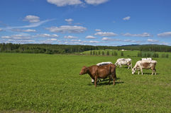 Cows in swedish field Stock Images