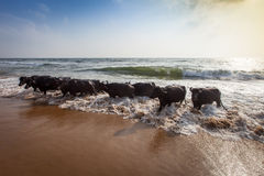 Bathing of a cows Royalty Free Stock Images