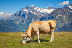 Cows in the swiss alps Stock Photo