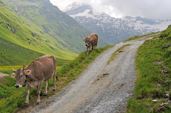 Cows in the swiss alps Royalty Free Stock Photography