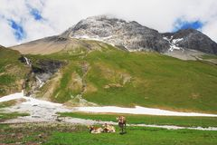 Cows in the Swiss Alps. Cows on a mountain pass in the Swiss Alps Stock Images