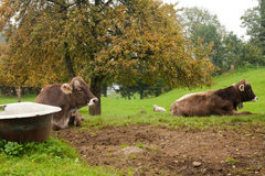 Cows in swiss countryside. Cows lying in swiss countryside royalty free stock photo