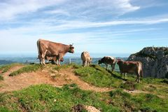 Cows and the Swiss mountains Stock Photos