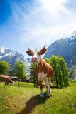 Cows in Switzerland mountains Royalty Free Stock Images