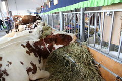 Cows - Sydney Royal Easter Show Royalty Free Stock Image
