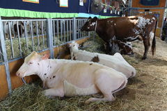 Cows - Sydney Royal Easter Show Royalty Free Stock Images