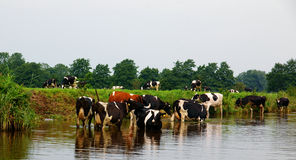 Cows taking a bath Royalty Free Stock Images
