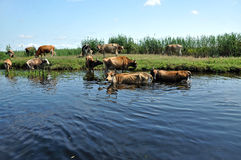 Cows taking a bath in the river Stock Photography