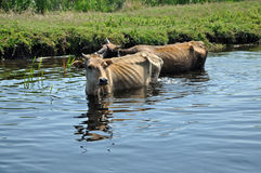 Cows taking a bath in the river Royalty Free Stock Photos